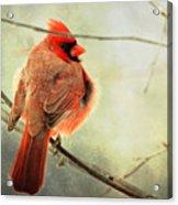 Fluffy Winter Cardinal Acrylic Print