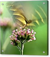 Fluttering Butterfly Acrylic Print by Heiko Koehrer-Wagner