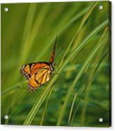 Fluttering Through The Summer Grass Acrylic Print