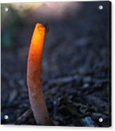 Fly And Stinkhorn Acrylic Print