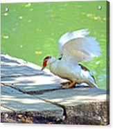 Fly Away Duck Acrylic Print