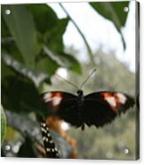 Fly Free - Black, Orange, White Butterfly Acrylic Print
