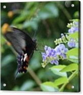 Fly In Butterfly Acrylic Print
