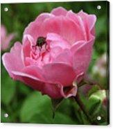Fly Likes Rose Too Acrylic Print