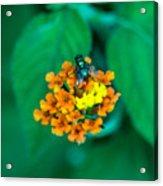 Fly On Flower Acrylic Print