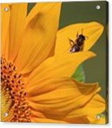 Fly On Sunflower Acrylic Print