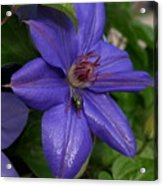 Fly On The Clematis Acrylic Print