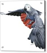Flying African Grey Parrot Acrylic Print