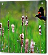 Flying Amongst Cattails Acrylic Print