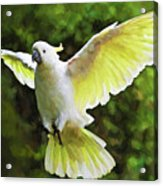 Flying Cockatoo  Acrylic Print