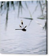 Flying Dragonfly Over Pond With Reeds Acrylic Print