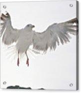 Flying European Herring Gull Acrylic Print