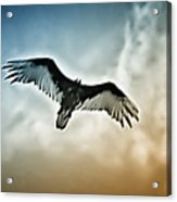 Flying Falcon Acrylic Print