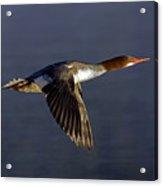 Flying Female Merganser - Odell Lake Oregon Acrylic Print
