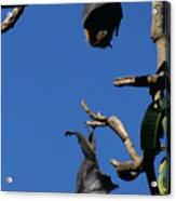 Flying Foxes In Sydney Acrylic Print