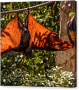 Flying Foxes Acrylic Print