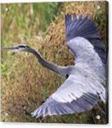 Flying Great Blue Heron Acrylic Print