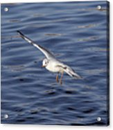 Flying Gull Acrylic Print by Michal Boubin