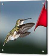 Flying Hummingbird Close-up Acrylic Print