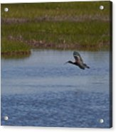 Flying Ibis Acrylic Print