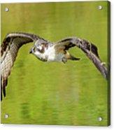 Flying Osprey Acrylic Print