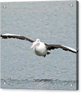 Flying Pelican Acrylic Print
