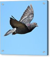 Flying Pigeon . 7d8640 Acrylic Print