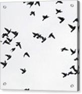 Flying Pigeons Acrylic Print