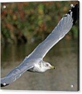 Flying Sea Gull - Eugene Oregon Acrylic Print