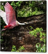 Flying Spoonbill Acrylic Print