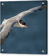 Flying Tern  4691 Acrylic Print