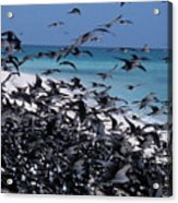 Flying Terns  On The Great Barrier Reef Acrylic Print