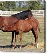 Foal Feeding With Milk Ranch Scene Acrylic Print