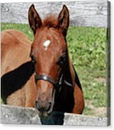 Foal Peaking Through Fence Acrylic Print