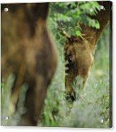 Foals Acrylic Print