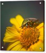 Focused June Beetle Acrylic Print