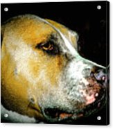 Focused Pitbull Acrylic Print