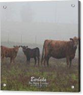 Foggy Mist Cows #0092 Acrylic Print