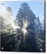 Foggy Redwood Sunrise Acrylic Print