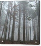 Foggy Sequoia National Park Acrylic Print