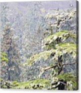 Foggy Tongass Rain Forest Acrylic Print