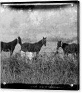 Horse Trio In Morning Fog Acrylic Print