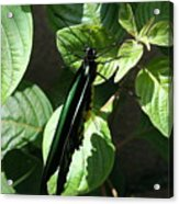 Folded Up - Green And Black Butterfly Acrylic Print