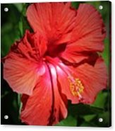 For The Love Of Hibiscus Acrylic Print