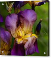 For The Love Of Iris Acrylic Print
