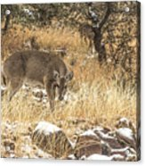 Foraging In The Snow Acrylic Print