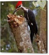 Foraging Pileated Woodpecker Acrylic Print