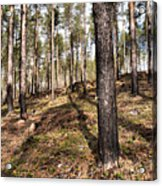 Forest Next Summer After A Fire Acrylic Print