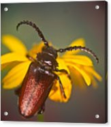 Forest Beetle Acrylic Print
