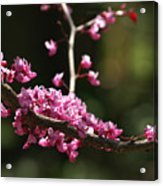 Forest Pansy Redbud Branch In May Acrylic Print